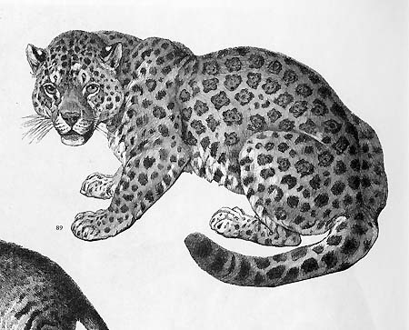Leopard from ANIMALS